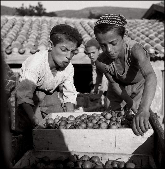 UKRAINE. 1943. Children working harversting pears and loading them on a cart. M-UK-DNE-031