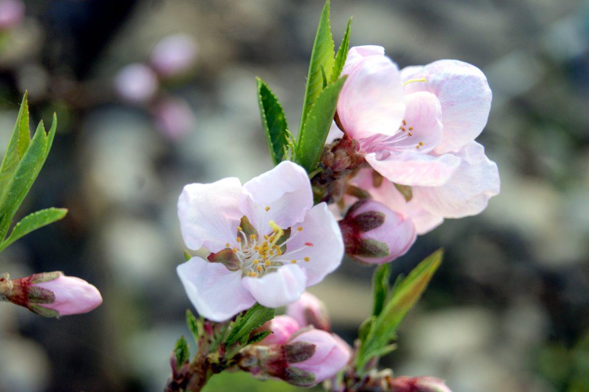 апрель персик